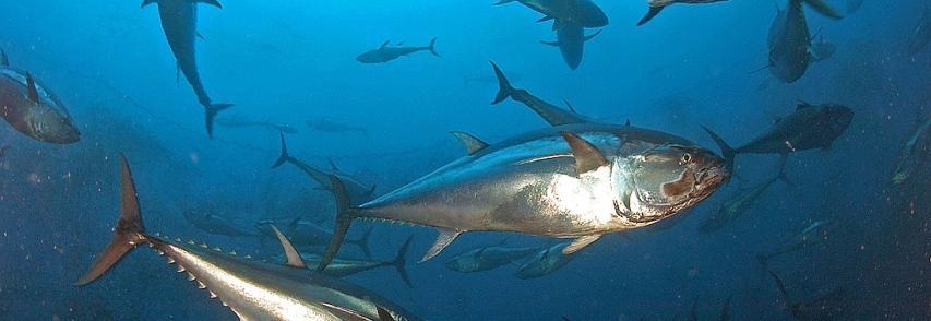 Il tonno rosso e gli altri, le specie a rischio nei mari