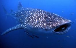 ANSA.IT  Squalo balena a rischio di estinzione