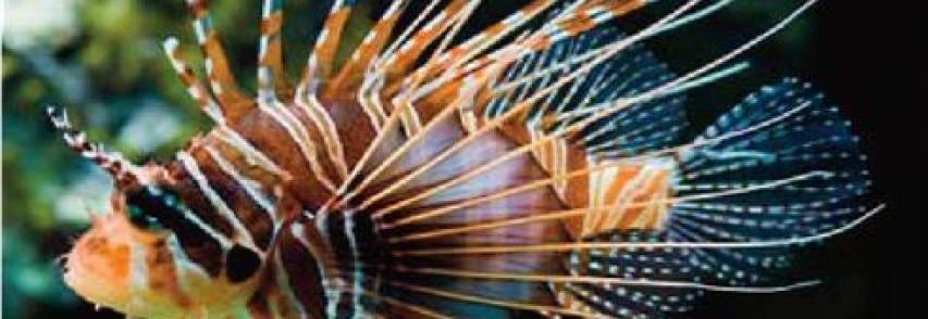 È allarme: pesce scorpione nelle acque italiane