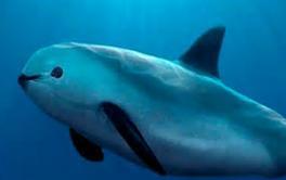 Vaquita, è un cetaceo ma nessuno lo sa. Prossima estinzione per una vescica mangiata dall'uomo