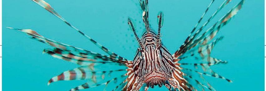 Sos Mediterraneo, l'ISPra chiede di segnalare avvistamenti di pesce scorpione