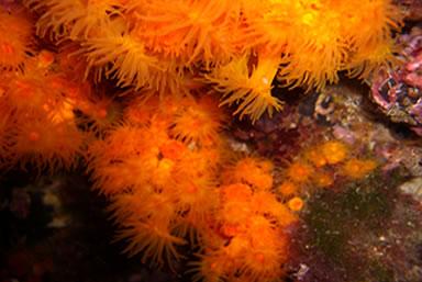 Astroides calycularis (madrepora arancione)