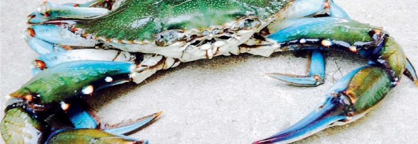Allarme in mare per il granchio blu