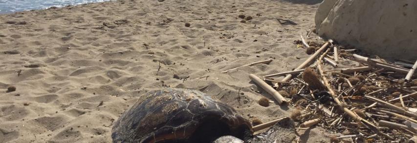 Caretta-caretta morta sulla spiaggia di Fontane Bianche