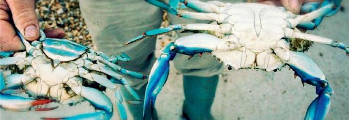 Mediterraneo centrale , arriva il granchio blu che fa strage di larve di gamberoni