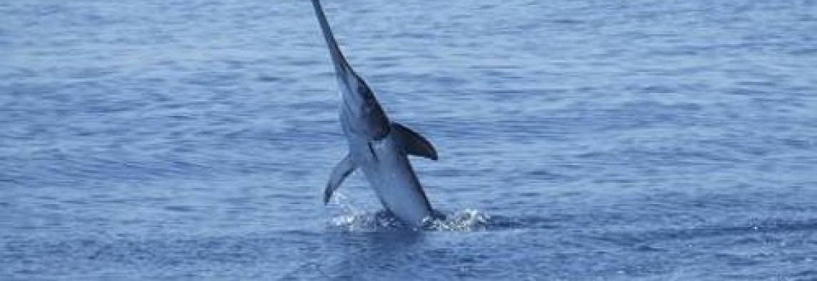 Quale futuro per il pescespada del Mediterraneo