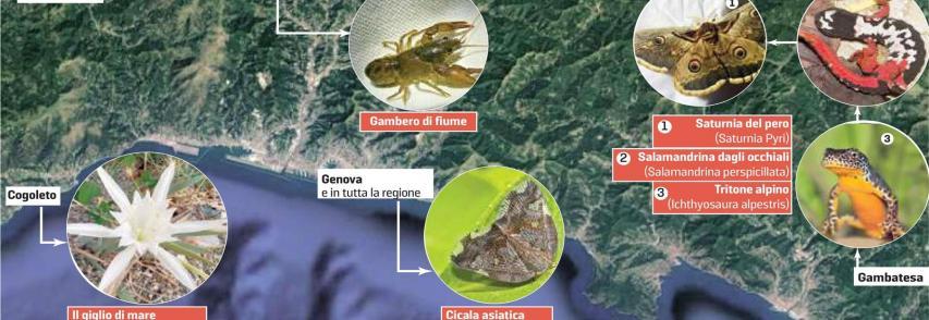SECOLO XIX GENOVA  Dal gambero di fiume al giglio di mare: tornano le specie rare *di Emanuela Schenone