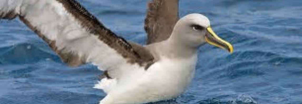 METEOWEB.EU  – Osservazione della Terra e satelliti: realizzato il primo censimento di Albatros, uccello marino ad alto rischio di estinzione