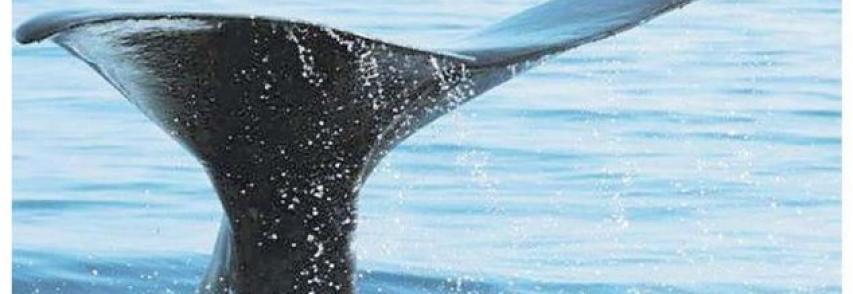 LA REPUBBLICA GENOVA – Una nursery tra le onde le balene allattano i cuccioli . Una nursery tra le onde Mar Ligure, qui le balene svezzano i loro cuccioli *di Macor Matteo