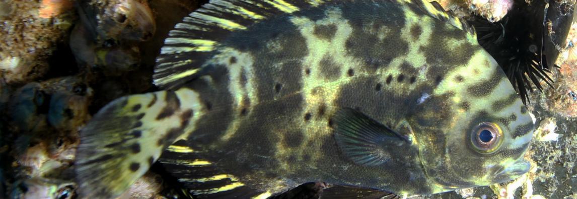 Centrolofo viola fotografato nel mare del Plemmirio